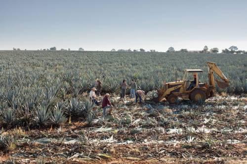 Mexico: Những người thợ đang thu hoạch cây thùa xanh (blue agave) cho nhà máy ủ rượu Tequila Ocho. Sau khi thu hoạch, những chiếc lá cao và nhọn của cây sẽ được cắt ra khỏi gốc. Cánh đồng thùa xanh là một trong các đặc trưng nổi bật nhất của thiên nhiên Mexico.